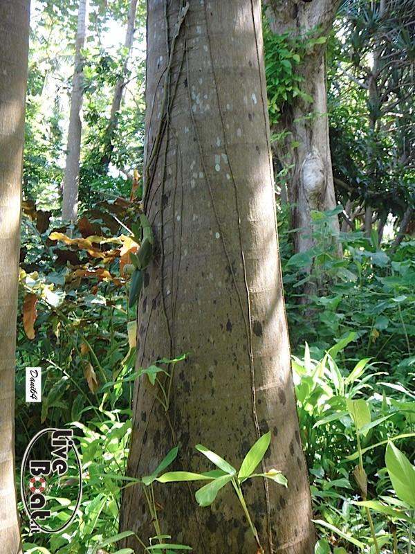 Barbados (Antille) 15/01/2011-dsc01803-jpg